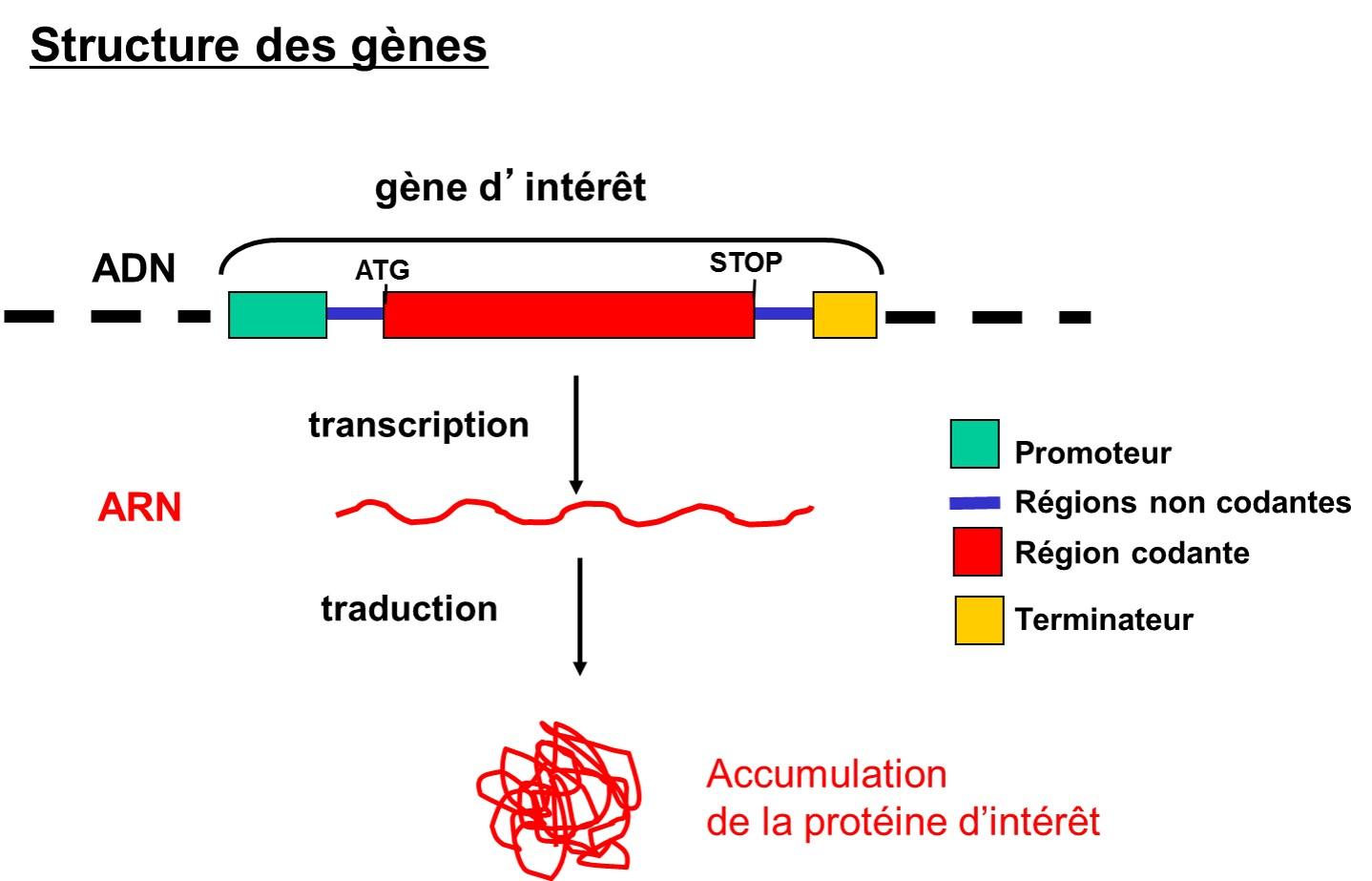 Fig 2 _ structure des gènes